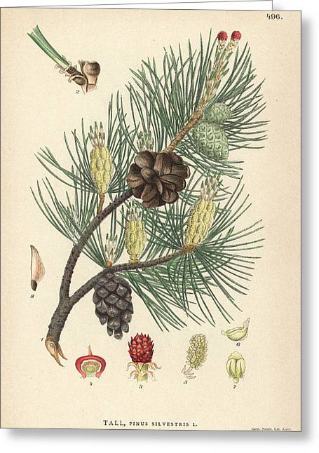 Scots Pine Greeting Card