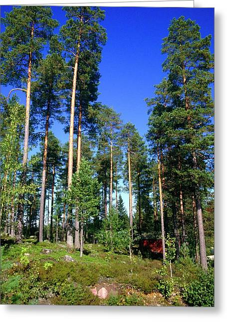 Scots Pine Forest Greeting Card by Andrew Brown/science Photo Library