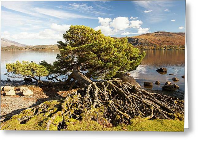 Scots Pine On Lake Shore Greeting Card by Ashley Cooper