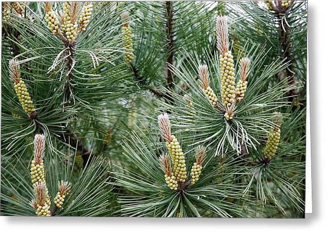 Scots Pine (pinus Sylvestris) Male Cones Greeting Card by Dr Keith Wheeler