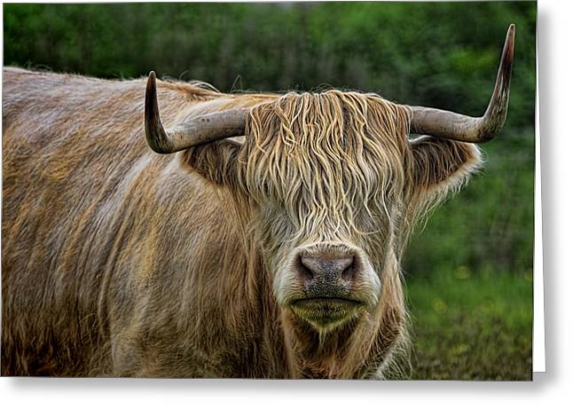 Scottish Highland Cattle Greeting Card