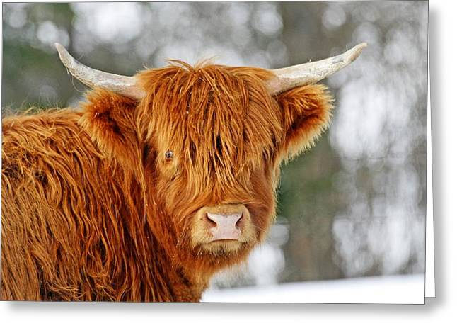Scottish Highland Cow Greeting Card by Michael Allen