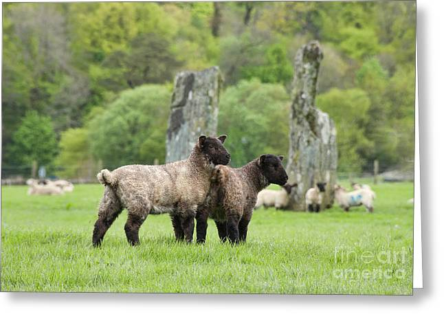 Scottish Sheep Greeting Card by Juli Scalzi