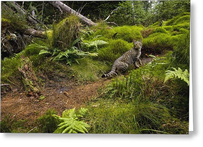 Scottish Wildcat And Domestic Cat Greeting Card