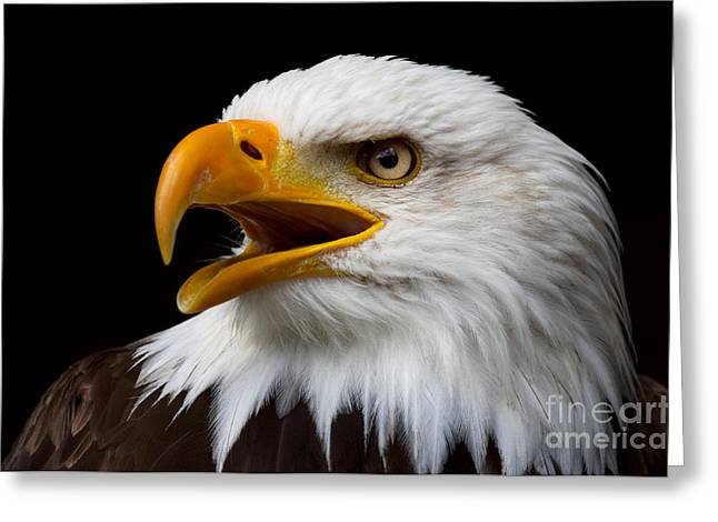Screaming Bald Eagle Greeting Card