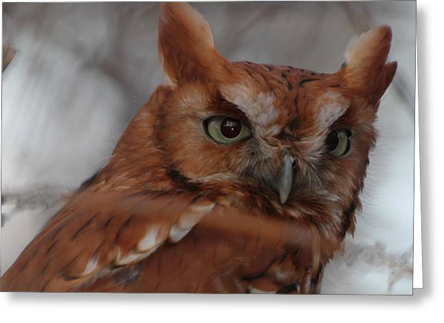 Greeting Card featuring the photograph Screech Owl by Constantine Gregory
