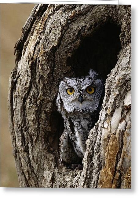 Screech Owl Greeting Card by David Middleton