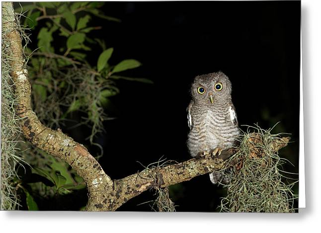Screech Owl Fledglings, Otus Asio Greeting Card