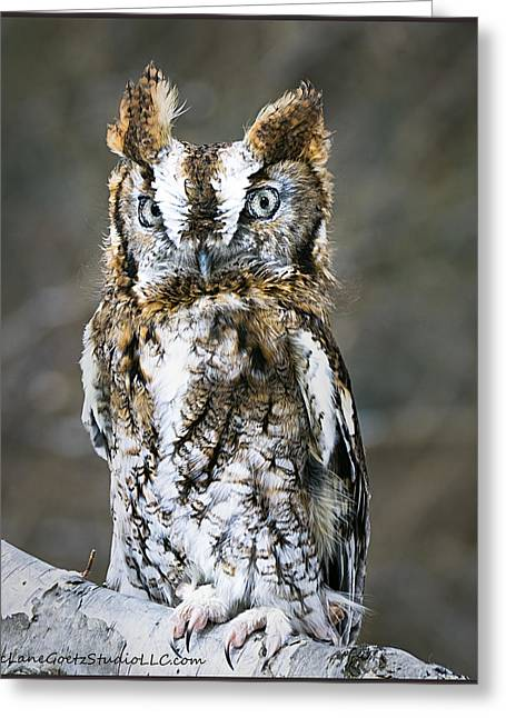 Screech Owl On The Trail Greeting Card