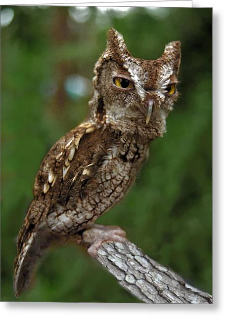 Screech Owl. Seminole County. Greeting Card