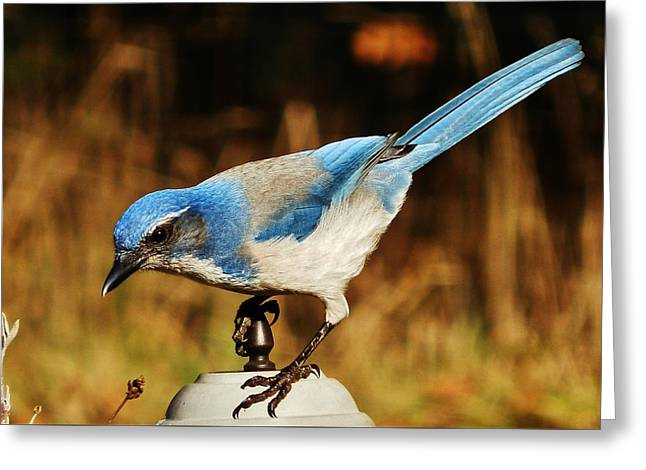 Greeting Card featuring the photograph Scrub Jay by VLee Watson
