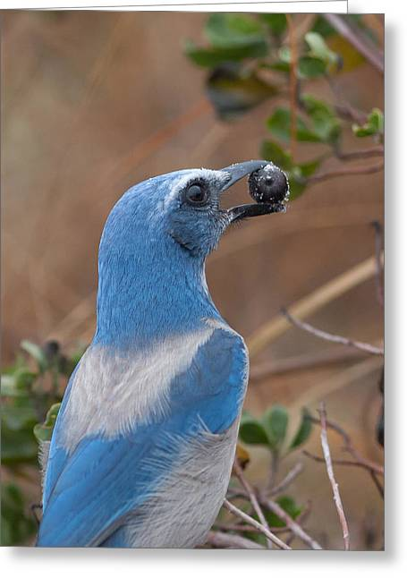 Greeting Card featuring the photograph Scrub Jay With Acorn by Paul Rebmann