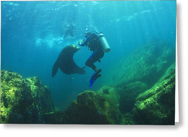Scuba Divers With Sea Lions Underwater Greeting Card by Stuart Westmorland