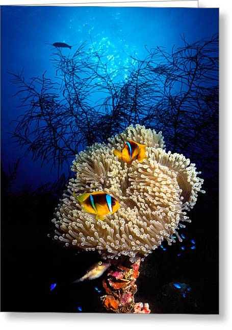 Sea Anemone And Allards Anemonefish Greeting Card by Panoramic Images