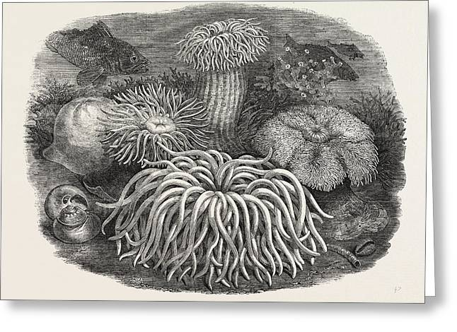 Sea Anemones In The Gardens Of The Zoological Society Greeting Card