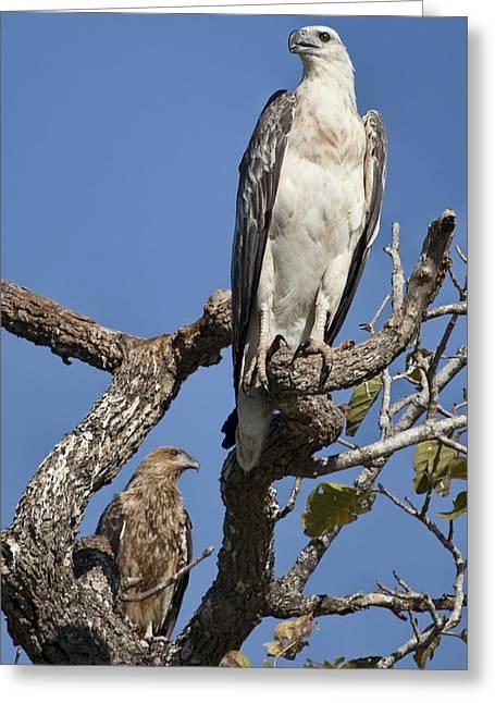 Sea Eagle And Brown Kite Sharing A Tree Greeting Card by Douglas Barnard