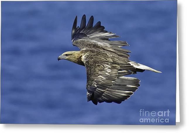 Sea Eagle  Greeting Card by Michael  Nau