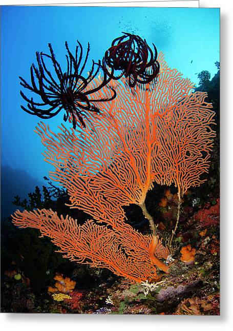 Sea Fan (gorgonia Greeting Card by Pete Oxford