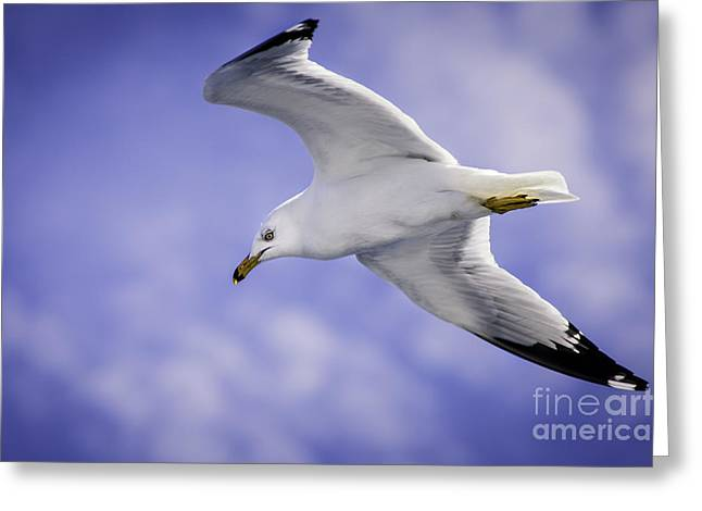 Sea Gull In Flight Greeting Card by Timothy Hacker
