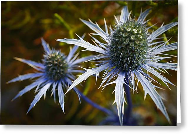 Sea Holly Blue Greeting Card by Ronda Broatch