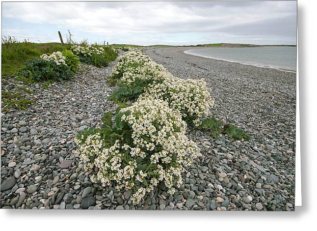 Sea Kale (crambe Maritima) Greeting Card by Annie Haycock