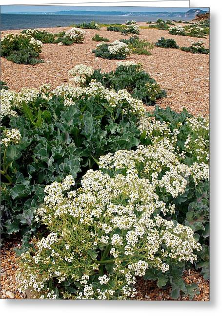 Sea Kale (crambe Maritima) In Flower Greeting Card by Bob Gibbons