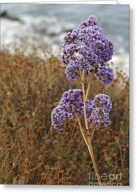 Sea Lavender In La Jolla Greeting Card by Anna Lisa Yoder