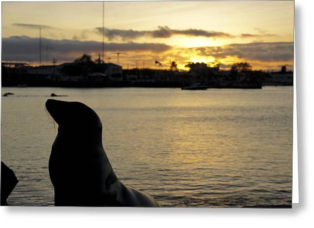Sea Lion At Sunset Greeting Card by Brian Kamprath