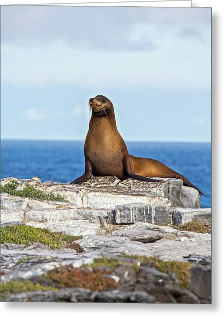 Sea Lion On Rocky Promontory Above Blue Greeting Card by Chris Caldicott