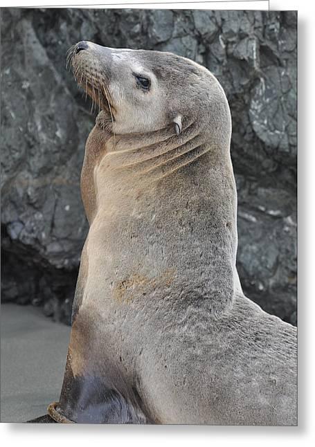 Sea Lion Portrait Greeting Card by Brandon Bourdages