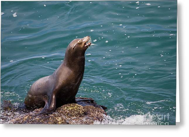 Sea Lion Posing Greeting Card