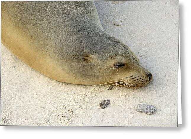 Sea Lion Sleeping On Beach Greeting Card
