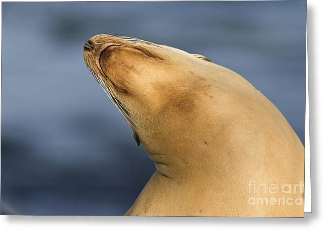 Greeting Card featuring the photograph Sea Lion Stretch by Bryan Keil