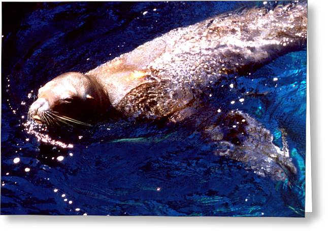 Sea Lion Swim Greeting Card by Robert  Rodvik