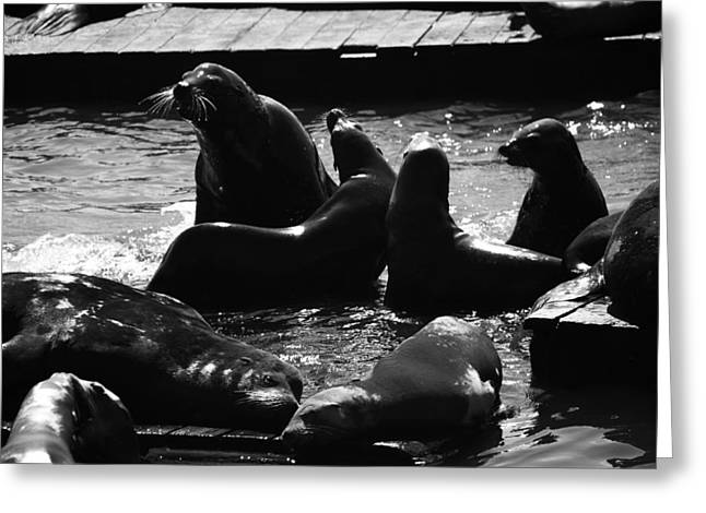 Sea Lions In The Bay Area Greeting Card