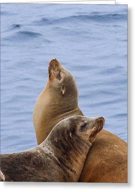Sea Lions Greeting Card by Jill Bell