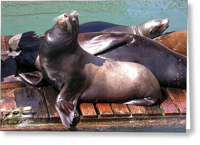 Sea Lions Sunning Greeting Card by Yvette Pichette