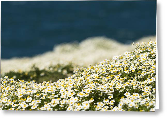 Sea Mayweed And The Sea Greeting Card