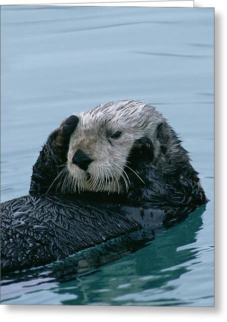 Sea Otter Grooming Greeting Card by Matthias Breiter