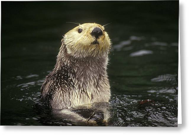 Sea Otter Pacific Coast North America Greeting Card by Gerry Ellis