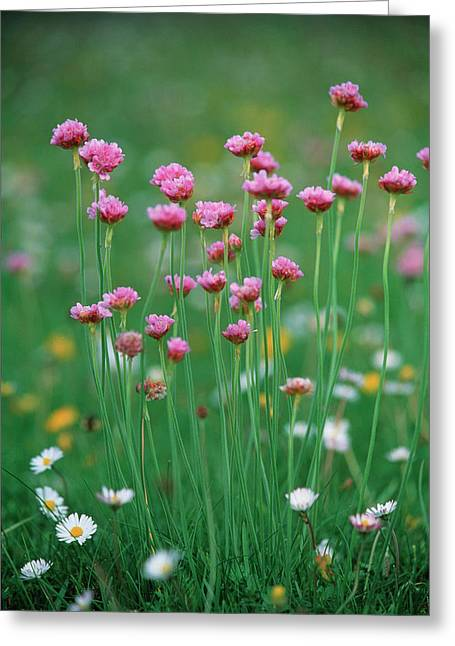Sea pinks daisies photograph by simon fraserscience photo library sea pinks daisies greeting card by simon fraserscience photo library mightylinksfo