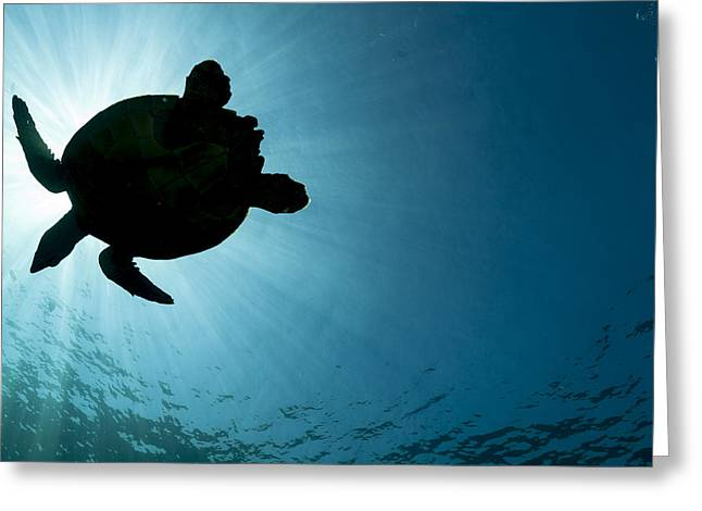 Sea Turtle Silhouette Greeting Card