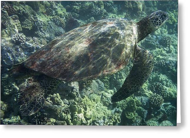 Sea Turtle Surfacing Greeting Card