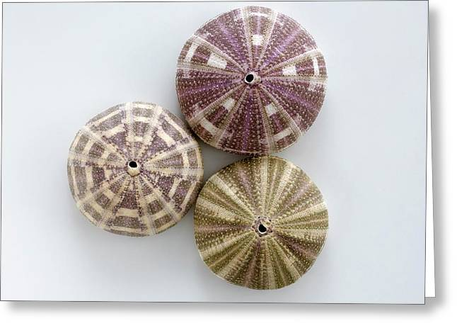 Sea Urchin Shells Greeting Card