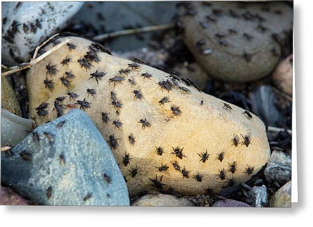 Sea Weed Flies (coelopa Frigida) Greeting Card by Ashley Cooper