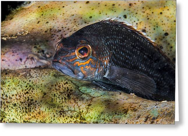 Seabass In A Shell Greeting Card