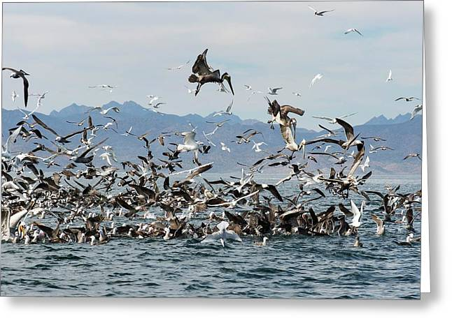 Seabirds Feeding Greeting Card by Christopher Swann