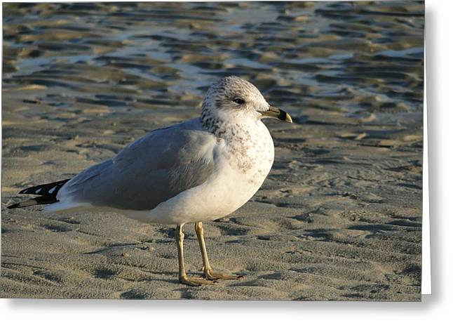 Seagull Greeting Card by Cindy Croal