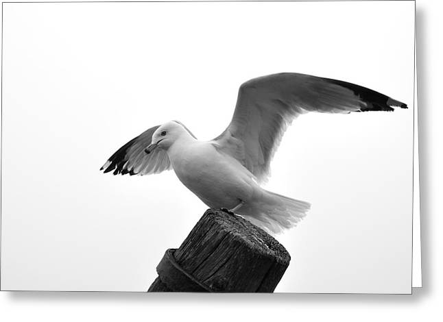 Seagull In Black And White Greeting Card