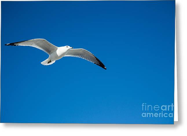 Seagull In Blue Skies Greeting Card by Mina Isaac